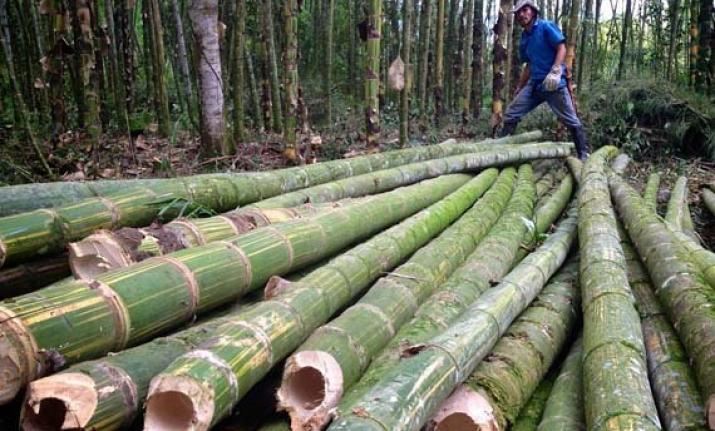 recoleccion-bambu